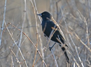 Red-winged Blackbird - Mendon Ponds - © Dick Horsey - Feb 07, 2016