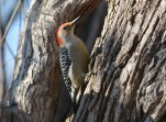 Red-bellied Woodpecker - Mendon Ponds - © Dick Horsey - Feb 07, 2016