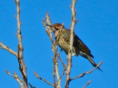 Northern Flicker - Oatka Creek Park - © Jim Adams - Feb 07, 2016