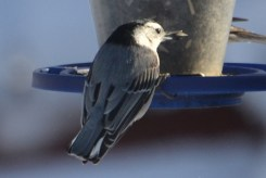 White-breasted Nuthatch - Webster - © Peggy Mabb - Feb 14, 2016