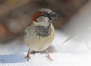 House Sparrow - Brighton - © Dick Horsey - Feb 29, 2016