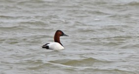 Canvasback - Irondequoit Bay Outlet - © Dick Horsey - Mar 04, 2016