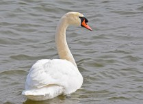 Mute Swan - Irondequoit Bay Outlet - © Dick Horsey - Mar 04, 2016
