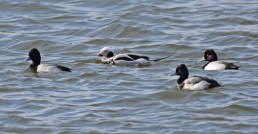 Lesser Scaup (M) - Irondequoit Bay Outlet - © Dick Horsey - Mar 04, 2016