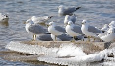 Ring-billed Gull - Irondequoit Bay Outlet - © Dick Horsey - Mar 04, 2016