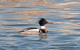 Red-breasted Merganser - Irondequoit Bay Outlet - © Dick Horsey - Mar 06, 2016