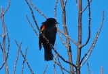 Red-winged Blackbird - Oatka Creek Park - © Jim Adams - Mar 06, 2016