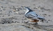 White-breasted Nuthatch - Mendon Ponds Park - © Dick Horsey - Mar 07, 2016