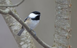 Black-capped Chickadee - Mendon Ponds Park - © Dick Horsey - Mar 07, 2016