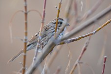 Song Sparrow - Irondequoit Bay Outlet - © Dick Horsey - Mar 09, 2016