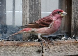 Purple Finch - Webster - © Peggy Mabb - Mar 10, 2016