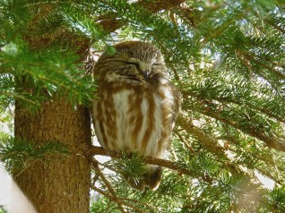 Northern Saw-whet Owl - Owl Woods - © Jim Adams - Mar 12, 2016