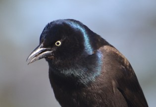 Common Grackle - Webster - © Peggy Mabb - Mar 12, 2016