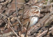 Song Sparrow - Webster - © Peggy Mabb - Mar 12, 2016