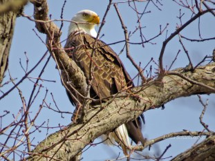 Bald Eagle - Webster - © Linda Schamberger - Mar 13, 2016