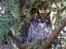 Great Horned Owl - Buffalo - © Zaphir Shamma - Mar 19, 2016