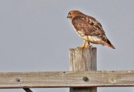 Red-tailed Hawk - Nations Road - © Dick Horsey - Mar 21, 2016