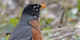 American Robin - Whiting Road Nature Preserve - © Dick Horsey - Mar 22, 2016