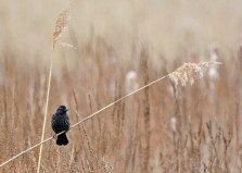 Red-winged Blackbird (F) - High Acres Nature Area - © Dick Horsey - Mar 26, 2016