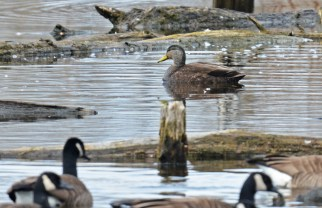 American Black Duck - High Acres Nature Area - © Dick Horsey - Mar 26, 2016