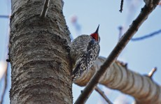 Yellow-bellied Sapsucker - Owl Woods - © Nick Kachala - Mar 26, 2016