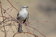 Northern Mockingbird - Mendon Ponds - © Dick Horsey - Mar 27, 2016