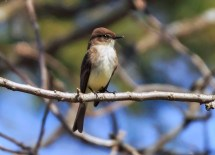 Eastern Phoebe - Naples - © Katy Schwingle - Mar 27, 2016