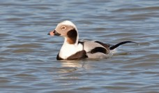 Long-tailed Duck - Hamlin Beach Park - © Dick Horsey - Mar 30, 2016