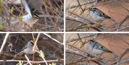 Golden-crowned Kinglet - Hamlin Beach Park - © Dick Horsey - Mar 30, 2016