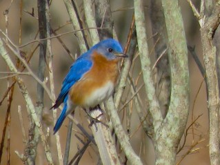 Eastern Bluebird - Oatka Creek Park - © Jim Adams - Mar 27, 2016