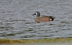 Blue-winged Teal - Greece - © Dick Horsey - Apr 01, 2016