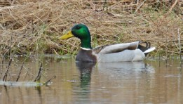 Mallard - Burger Park - © Dick Horsey - Apr 01, 2016