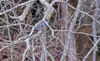 Belted Kingfisher - Durand Eastman Park - © Dick Horsey - Apr 07, 2016