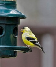 American Goldfinch - Fairport - © Wes Boyce - Apr 09, 2016