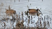 Blue-winged Teal - Montezuma NWR - © Salvador and Miriam Barragan - Apr 10, 2016