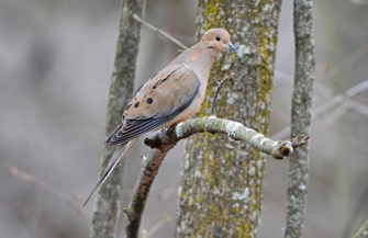 Mourning Dove - Thousand Acre Swamp - © Dick Horsey - Apr 12, 2016