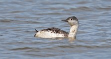 Red-throated Loon - Braddock Bay Marina - © Dick Horsey - Apr 13, 2016