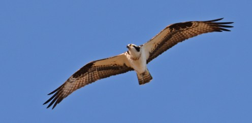 Osprey - Beatty Point - © Dick Horsey - Apr 14, 2016