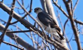 Sharp-shinned Hawk - Firehouse Woods - © Dick Horsey - Apr 15, 2016