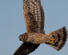 Northern Harrier (F) - Burger Park - © Zaphir Shamma - Apr 15, 2016