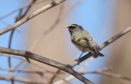 Golden-crowned Kinglet - Buffalo - © Dana Kalir - Apr 16, 2016