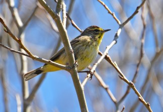 Palm Warbler - Braddock Bay West Spit - © Dick Horsey - Apr 20, 2016