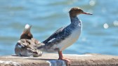 Red-breasted Merganser - Braddock Bay West Spit - © Dick Horsey - Apr 20, 2016