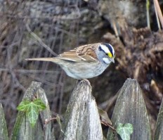 White-throated Sparrow - Irondequoit - © Candace Giles - Apr 26, 2016