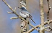 Blue-gray Gnatcatcher - Island Cottage Woods - © Dick Horsey - Apr 27, 2016