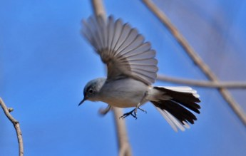 Blue-gray Gnatcatcher - Island Cottage Woods - © Nick Kachala - Apr 30, 2016