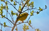 Yellow Warbler - Lakeview Community Church Trail - © Nick Kachala - Apr 30, 2016