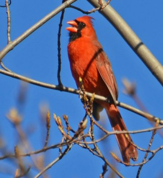 Northern Cardinal - Webster - © Peggy Mabb - Apr 30, 2016