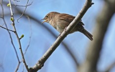 House Wren - Brighton - © Dick Horsey - Apr 30, 2016