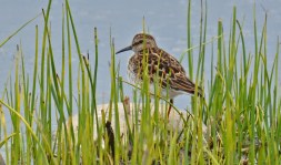Dunlin - High Acres Nature Area - © Dick Horsey - May 03, 2016